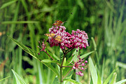 Swamp Milkweed Photos - Swamp Milkweed with Butterflies Bees and Bugs by Abbey Walls
