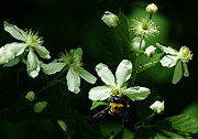 Dappled Light Photos - Swamp Rose with Carpenter Bee by Rebecca Sherman