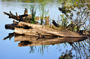 American Alligator Prints - Swamp Scene Print by Al Powell Photography USA