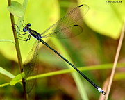 Dragonflies Originals - Swamp Spreadwing by Greg Hill