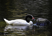 Black Head Photos - Swan a-Swimming by Christi Kraft