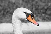 Trumpeter Photos - Swan Closeup by Shane Bechler