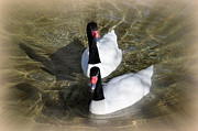 Swan Duo Print by Marty Koch