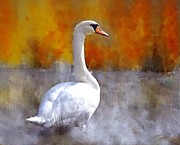 Autumn Photos Originals - Swan enjoying the Autumn sun by Marilyn Giannuzzi