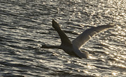 Michael Photo Posters - Swan flying Poster by Michael Mogensen