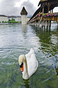 Lucerne Art - Swan in front of Chapel Bridge  Lucerne Switzerland by Oscar Gutierrez