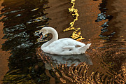 Kate Brown Framed Prints - Swan in Reflections Framed Print by Kate Brown