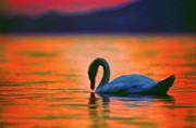 Balaton Paintings - Swan in the Balaton lake by Odon Czintos
