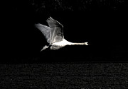 Angelika  Kimmig - Swan in the night