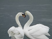 Matting Photo Posters - Swan kisses Poster by Elizabeth Kohler