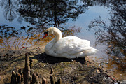 Jeff Mcjunkin Metal Prints - Swan Lake I Metal Print by Jeff McJunkin