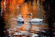 Jeff Mcjunkin Metal Prints - Swan Lake II Metal Print by Jeff McJunkin