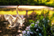 Swans... Digital Art Prints - Swan Lake Print by Lois Bryan