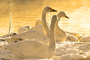 White River Scene Photo Originals - Swan Lake by Tommy Hammarsten