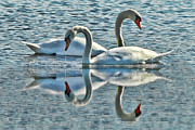 Andrea Kollo Metal Prints - Swan Love Metal Print by Andrea Kollo