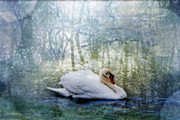 All - Swan Reflections by Darlene Bell