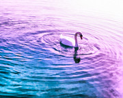 Calm Waters Mixed Media Posters - Swan Ripples Poster by Priya Ghose