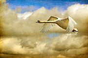Flying Mute Swan Framed Prints - Swan Song Framed Print by Lois Bryan