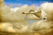 Swan Song Print by Lois Bryan