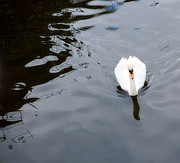 Swan Song Print by Rebecca Cozart