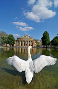 White Wing Framed Prints - Swan spreads wings in front of State Theatre Stuttgart Germany Framed Print by Matthias Hauser