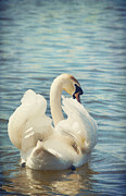 Swans... Digital Art Prints - Swan Print by Svetlana Sewell