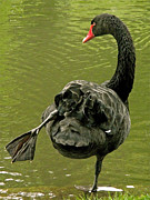 Black Swans Metal Prints - Swan Yoga Metal Print by Rona Black