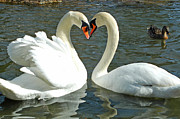 Olivia Hardwicke - Swans At City Park
