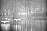 Swan Art Prints - Swans flying over the lake Print by Tommy Hammarsten