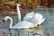 Swans... Photo Metal Prints - Swans Metal Print by Gary Heller