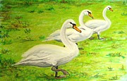 Swans... Pastels Prints - Swans in a row Print by Frank Giordano