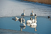 Flevoland Art - Swans in an ice hole in winter by Jan Marijs