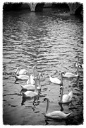 Black Swans Metal Prints - Swans in Brugge Metal Print by Carol Groenen