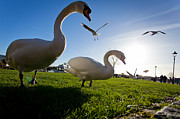 Christchurch Framed Prints - Swans Framed Print by Jimmy Karlsson
