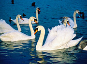 Swans... Digital Art Prints - Swans Print by Matthew Bamberg