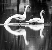 F Lee Photography - Swans on Ice