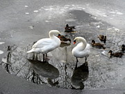 Brian Chase - Swans on Thin Ice