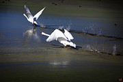David Millenheft - Swans Tandem Takeoff