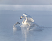 Patti Deters - Swans - Three