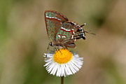 Sweadner's Juniper Hairstreak Print by April Wietrecki Green
