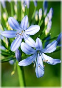 Blue Lily Of The Nile Photos - Sweet African Lily by Carol Groenen