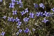 Tiny Bluet Prints - Sweet Alabama Tiny Bluet Wildflowers Print by Kathy Clark