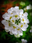 Sweet Alyssum Print by Patti Whitten