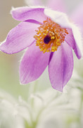 HJBH Photography - Sweet Anemone