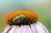 Green Jacket Framed Prints - Sweet Bee Framed Print by Juergen Roth