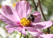 Insect On Flower Art - Sweet Bee on Pink Cosmos by Carol Groenen