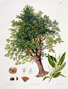 Fruit Drawings Metal Prints - Sweet Chestnut Metal Print by Johann Kautsky