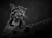 Clouded Leopard Posters - Sweet Clouded Face Poster by Adrian Tavano