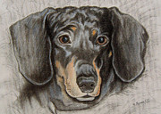 Renee Forth Fukumoto Drawings - Sweet Dachshund Hopeful Eyes by Renee Forth Fukumoto