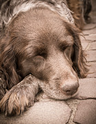 Sleeping Dogs Photos - Sweet Dog Sleeping by Peta Thames